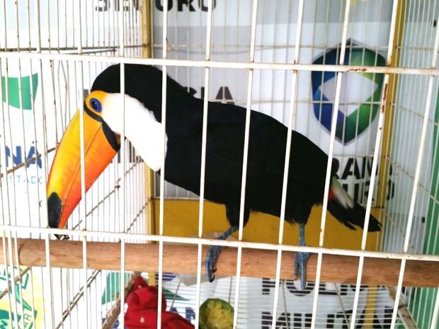 Tucano será avaliado por veterinário e biólogo no Centro de Triagem de Animais Silvestres (Foto: Divulgação/ Polícia Ambiental)