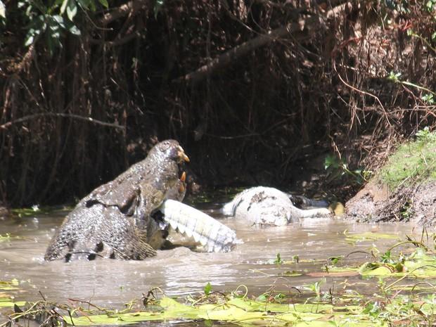 Crocodilo gigante devorou rival após matá-lo (Foto: Sandra Bell/AP)