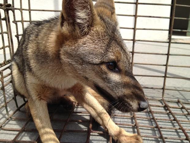 Animal foi capturado após comer seis galinhas em um motel de João Pessoa, segundo Polícia Ambiental (Foto: Walter Paparazzo/G1)