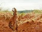 Calor em excesso prejudica novas plantações de café no sul de MG
