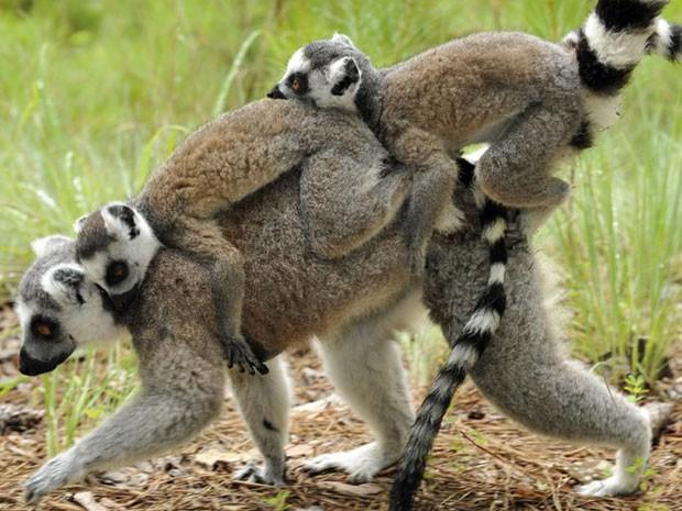 Esta foto mostra Lulu e Willow, um par de gêmeos de lêmur-de-cauda-anelada (aqui, pendurados na cauda da mãe Sprite) nascido em março de 2014. Reunida, a população do Duke Lemur Centre é a maior coleção do mundo sobre estes primatas ameaçados de extinção.  (Foto: Duke Lemur Centre/ BBC)