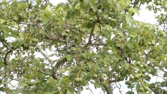 Safra de pequi diminui em Luislândia e preocupa produtores