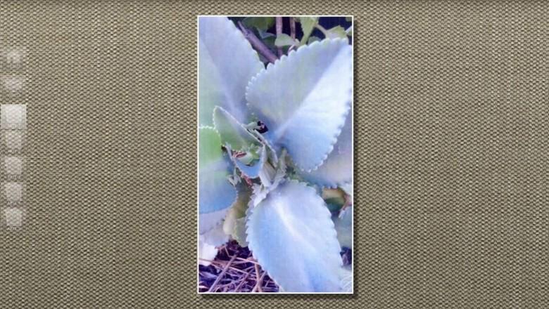 calanchue-flor (Foto: Reprodução/TV Globo)