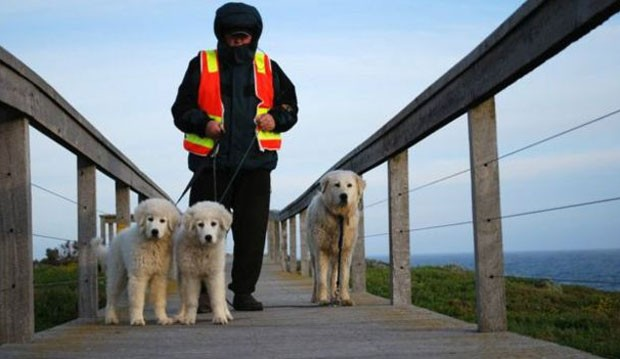 Com a chegada dos cães, a hierarquia da ilha mudou  (Foto: Warrnambool Council )