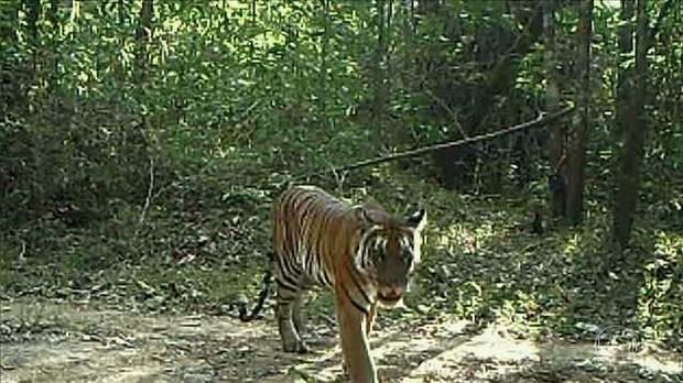 Tigre tailandês é protegido por guardas armados em parque (Foto: BBC)