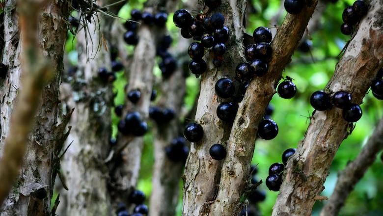jabuticabeira-jabuticaba-fruto (Foto: Marcos Dias/CCommons)