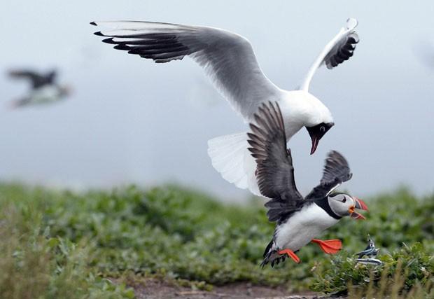 Gaivota foi flagrada tentando roubar comida de papagaio-do-mar (Foto: Nigel Roddis/Reuters)