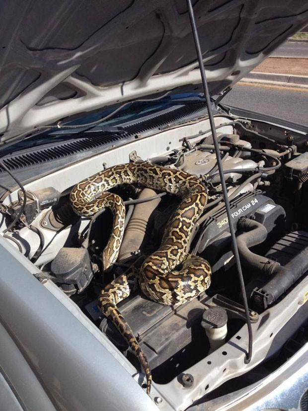 Motorista achou cobra enorme escondida no motor da picape (Foto: Santa Fe Police Department/AP)