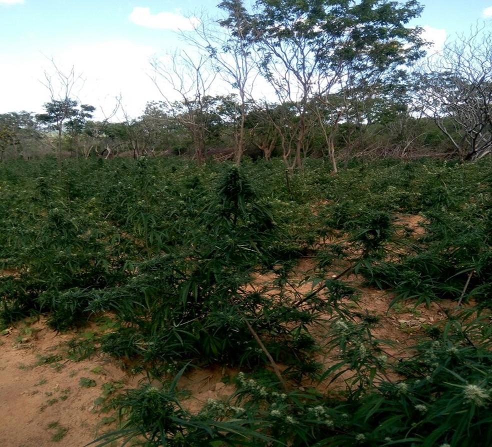 Plantação foi descoberta pela PM em Mirandiba (Foto: Divulgação/Polícia Militar)