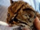 Veterinário de Mogi cuida de gato-do-mato em casa; assista