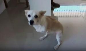 Cadela nasce com duas patas e aprende a pular como canguru