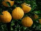 Mamão formosa e tangerina estão mais em conta, diz Ceagesp