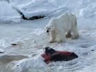 Mudança climática leva urso polar a se alimentar de golfinhos, diz estudo