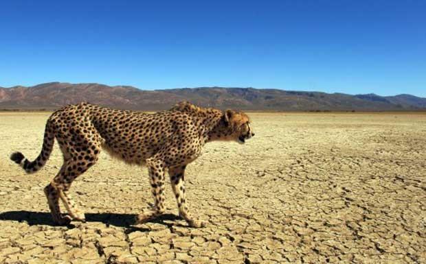 Guepardo que vive em uma reserva localizada na Cidade do Cabo, na África do Sul. Espécie pode desaparecer da vida selvagem até 2030, dizem especialistas (Foto: Christophe Beaudufe/AFP)