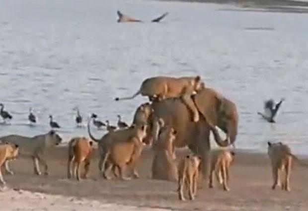 Caso ocorreu no Parque Luangwe, em Zâmbia (Foto: Reprodução/YouTube/Norman Carr Safaris)