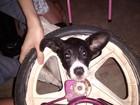 Cadela fica com o pescoço preso em roda de bicicleta em Montes Claros