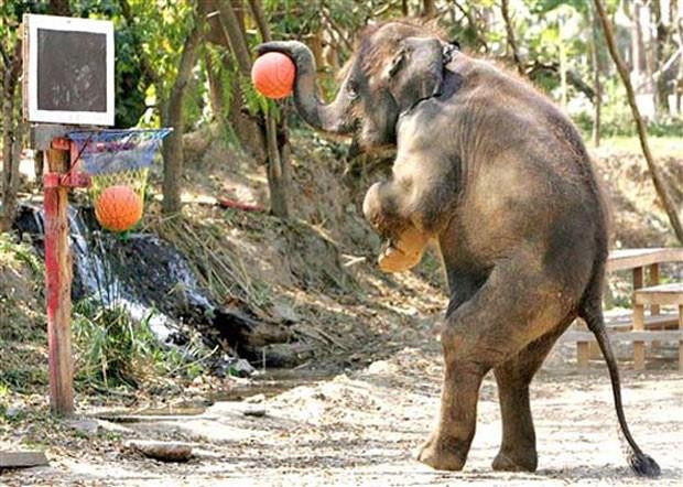 Elefante se equilibrou nas patas traseiras para fazer a cesta usando a tromba (Foto: AFP)
