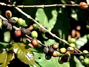Produtores de café de Araguari tem prejuízo  (Foto: Reprodução/ TV Integração)