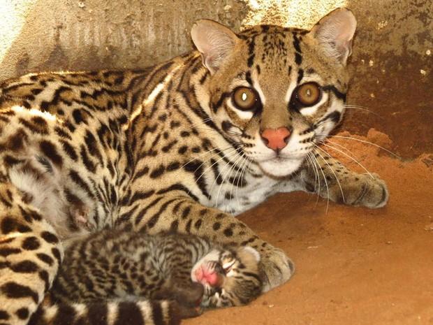 Gatos morisco foram soltos em fazenda do Tocantins (Foto: Caroline Duks/Naturatins/Divulgação)