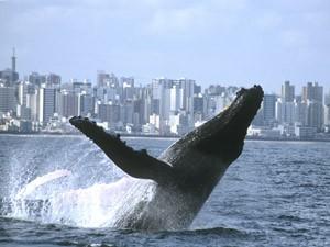 Baleia jubarte nada próximo ao litoral (Foto: Divulgação/ IBJ)