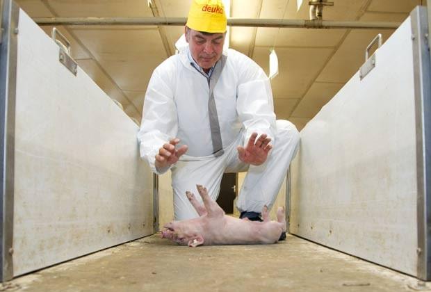 Kees Scheepens hipnotiza os porcos para medir os níveis de estresse dos animais. (Foto: Friso Gentsch/AFP)