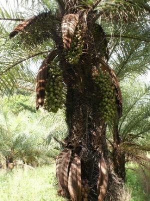 A macaúba é uma palmeira nativa brasileira (Foto: UFV/Digulgação)