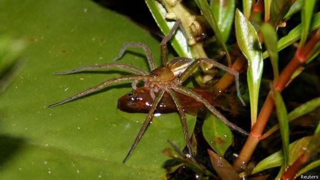 Peixes podem ser presas ocasionais para determinadas espécies de aranhas (Foto: Reuters/BBC)