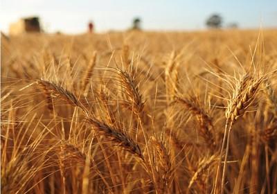 agricultura_trigo_ (Foto: Acervo/Ed. Globo)