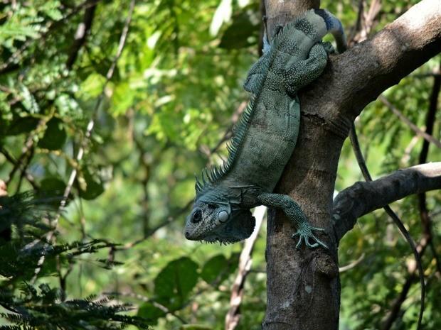 Iguanas são soltas em Tangará da Serra nas proximidades do Rio Sepotuba. (Foto: Assessoria/ Ibama)