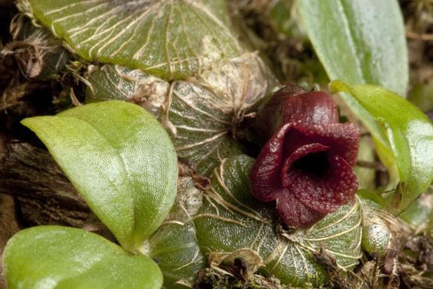Nova espécie de orquídea do gênero Porpax (Foto: Andre Schuiteman/AFP)