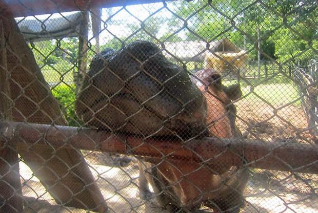 vanessa hipopótamo parque escobar (Foto: Leandra Felipe/G1)
