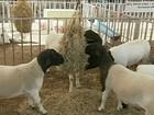 Exposição reúne melhores caprinos e ovinos da região de Sertânia, em PE
