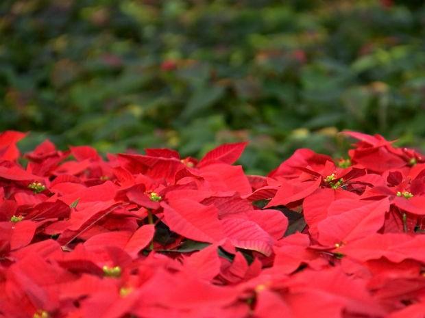 Flor do Natal depende de 'escuridão' para ficar como consumidor gosta (Foto: Reprodução/ TV TEM)