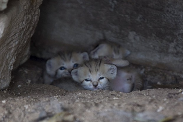 Filhotes de gato-do-deserto nasceram há três semanas no Safari de Ramat Gan, em Israel  (Foto: Reuters/Baz Ratner)