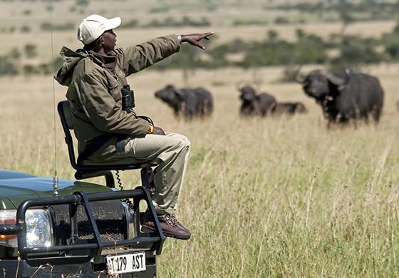 Sentado em um banco preso ao capô de uma caminhonete de safári, um guia aponta para um grupo de búfalos-africanos no Parque Nacional Serengeti, na Tanzânia  (Foto: © Haroldo Castro/Época)