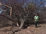 Jornal Hoje: Por falta de chuva, árvore típica da caatinga está morrendo (02)