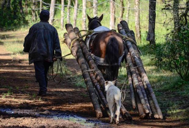 Homem e cavalo carregam madeira retirada da floresta  (Foto: BBC)