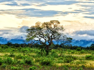 O pequizeiro é uma árvore típica do cerrado, com casca grossa e troncos retorcidos (Foto: Clóvis Cruvinel/ Acervo pessoal)