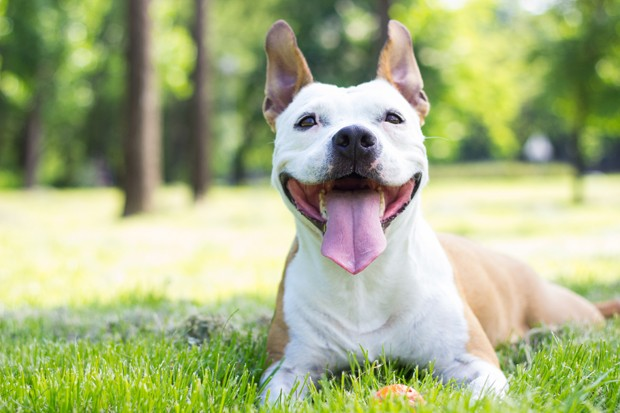 Portrait of happy and cute American Staffordshire Terrier (Foto: Getty Images/iStockphoto)