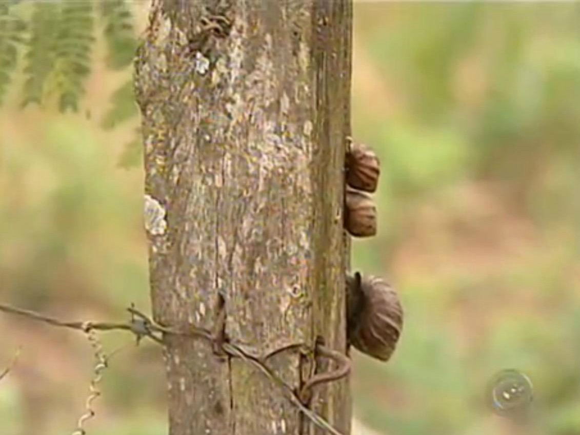 Caramujos podem ser vistos nas plantas, calçadas e até mesmo nas residências (Foto: Reprodução / TV TEM)