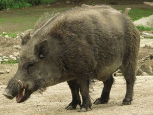 Exemplar de javali-europeu, animal invasor que ameaça a biodiversidade brasileira (Foto: Divulgação/Ibama)