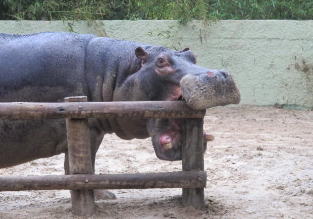 Com três toneladas, o hipopótamo Popó é uma das atrações do parque. (Foto: Anna Gabriela Ribeiro/G1)