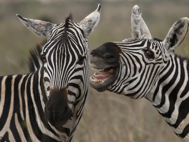 Zebra parecia dar 'gargalhadas ao pé do ouvido' de rival em parque queniano (Foto: Goran Tomasevic/Reuters)