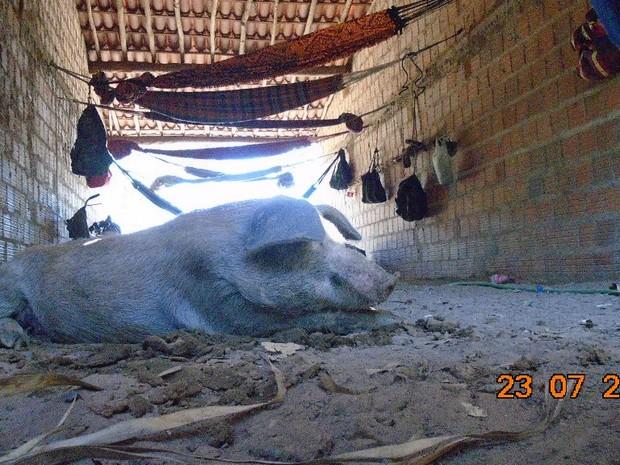 Alojamento junto com chiqueiro de porcos no Piauí (Foto: Ministério Público do Trabalho)