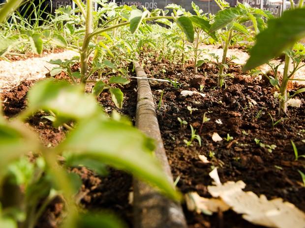 O sistema de gotejamento consiste em levar a água por mangueiras de irrigação muito finas, aplicadas diretamente na terra, em baixa vazão e pressão. (Foto: Érico Andrade/G1)