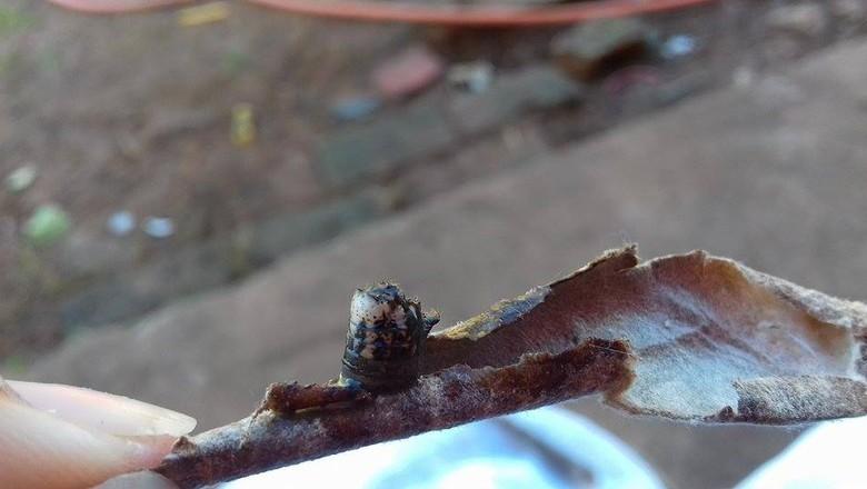 gr-responde-lagarta-bicho-cigarro (Foto: Liria Daiana/ Arquivo Pessoal)