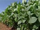 Projeto mapeia os custos de produção da soja e do milho em MS