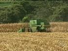 Lavouras de milho registram boa produtividade no Paraná