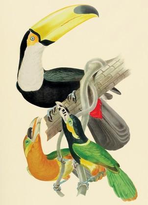 Imagem da série de 30 cromolitografias de pássaros brasileiros mostradas em conjunto, realizadas a partir dos desenhos do naturalista francês J. T. Descourtilz para sua obra Ornitologia Brasileira ou História dos pássaros do Brasil publicada em Londres (Foto: Foto/ Edouard Fraipont)