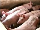 Suinocultores de MG comemoram a reação no preço da carne